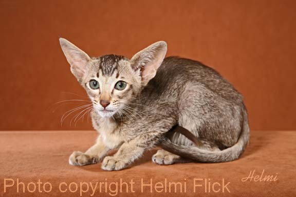 Ticked Oriental Shorthair Kitten