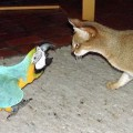 Chausie cat and Macaw bird