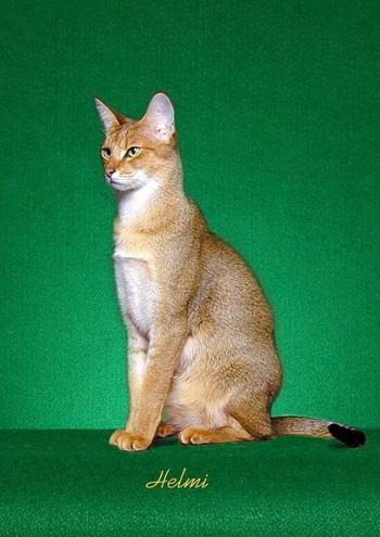 abyssinian cat behavior  poc