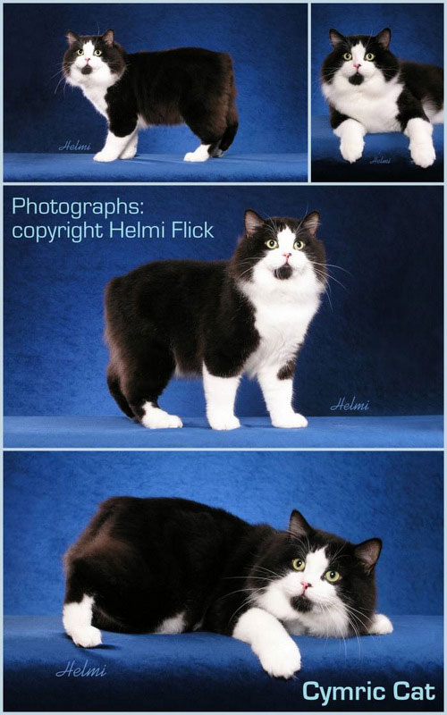 Cymric cat breed pictures in a collage pictures by Helmi Flick USA