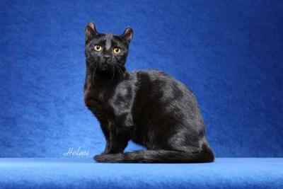 Kinkalow Dwarf Cat Poc