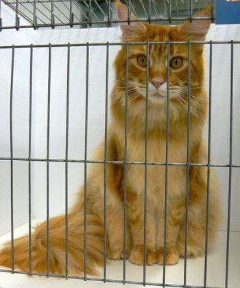 Maine Coon cat in a cage at a cat show