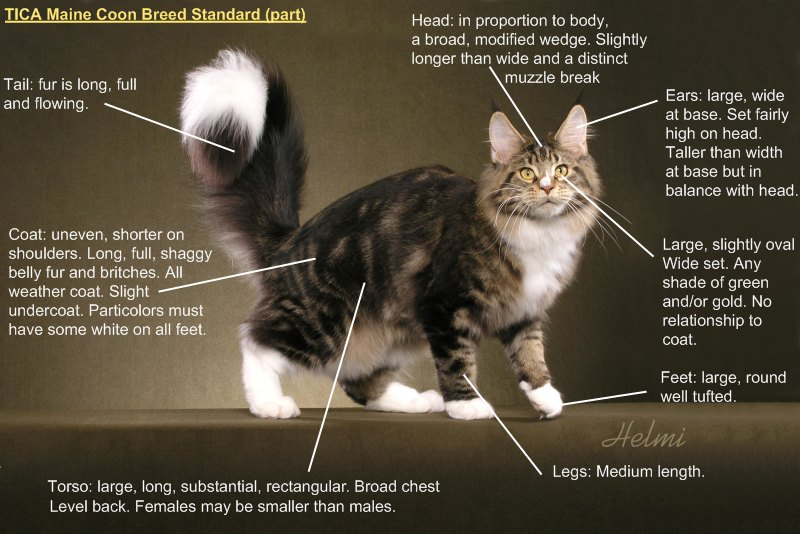 Black Maine Coon Cat Breeders