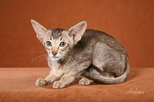 Ticked tabby Oriental SH