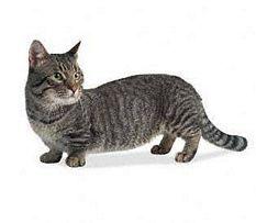 dwarf cats and miniature cats poc