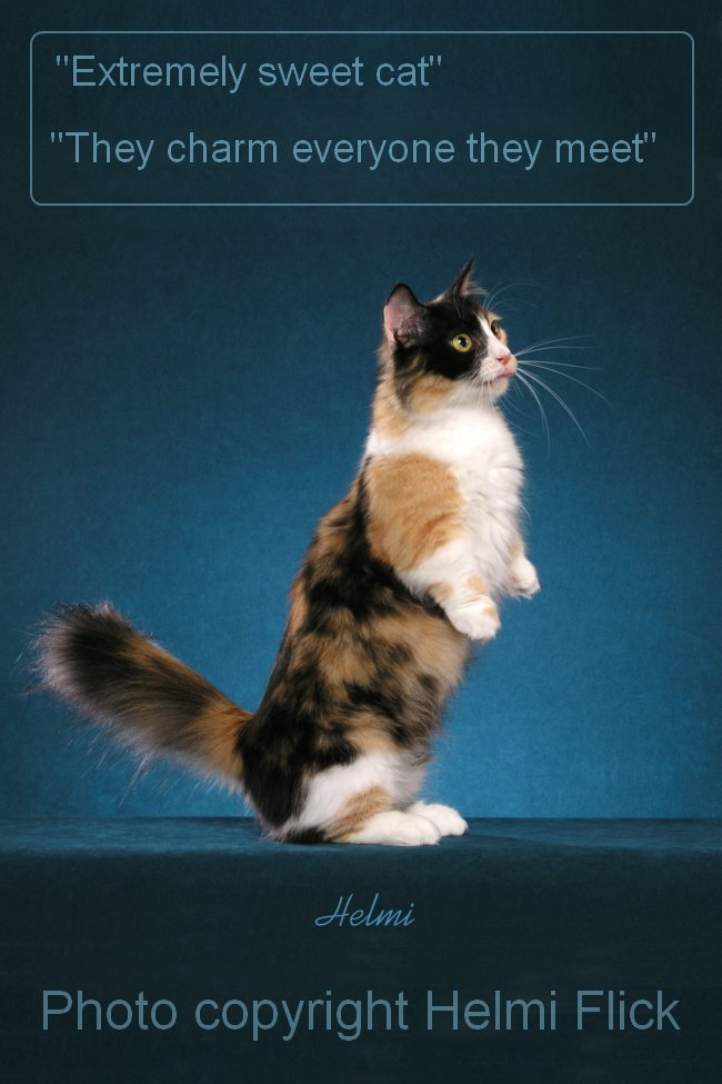 Munchkin cat standing on hind legs