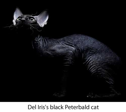 Peterbald cat from cattery of Del Iris