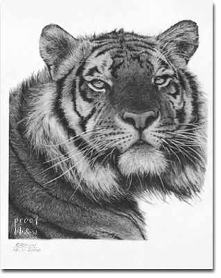 Richard Brown drawing of a tiger
