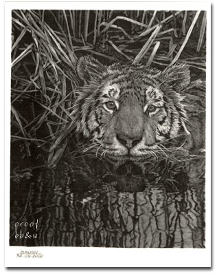 Richard Brown artist drawing of tiger in water