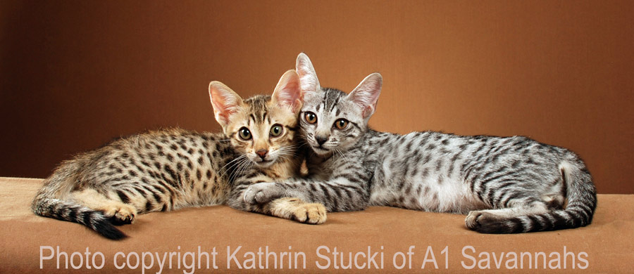 Savannah cat kittens and siblings