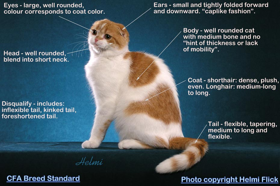 Scottish Fold breed standard