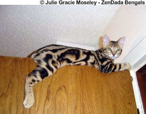 Bengal in a high perch position. Stressed cat? No