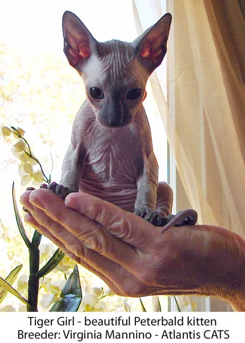 Tiger Girl Peterbald cat