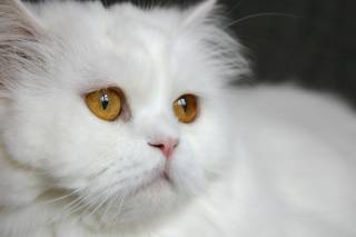 White traditional Persian cat
