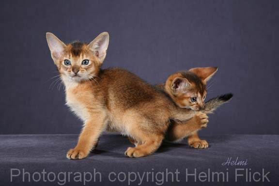Two Ruddy Abyssinian kittens
