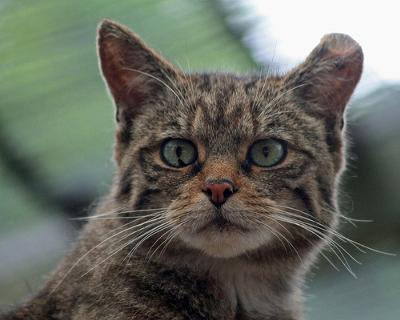 Scottish Wildcat in captivity - Is it a true wildcat or a hybrid? Photo: by Daves Portfolio (Flickr)