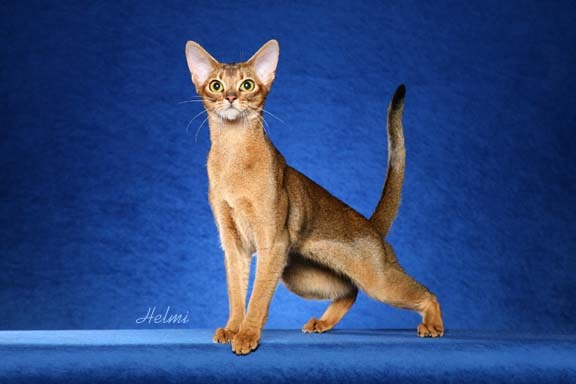 Abyssinian cat - photo copyright Helmi Flick