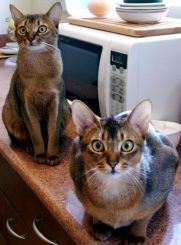 Abyssinian cats - pictures of cats