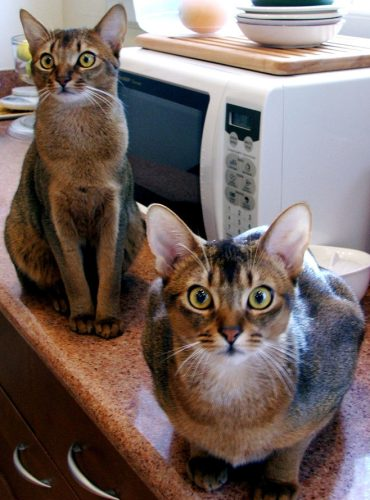 Abyssinian cat looking intense - pictures of cats