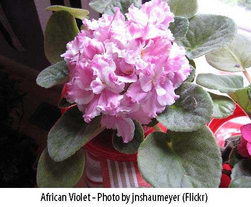 African Violet is safe for cats
