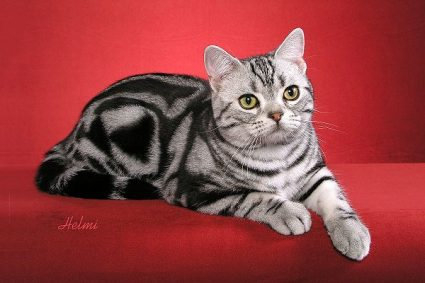 American Shorthair. Photo: copyright Helmi Flick.