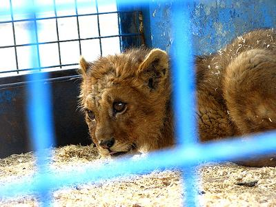 Circus lion in a dirty cage looking frightened and confused - photo by PhOtOnQuAnTiQuE (Flickr)