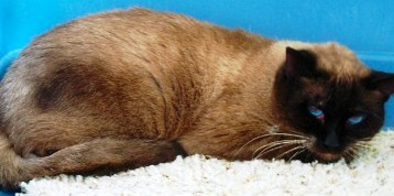 Traditional Siamese Male, 2006