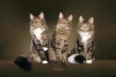 Three Maine Coon Cat Brothers: Photo copyright Helmi Flick