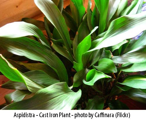 plant safe for cats - Aspidistra Cat Iron Plant