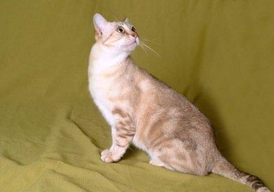 Australian Mist cat breed