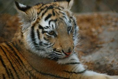 Tiger cub but still pretty big at 50lbs - photo by Financial Aid Podcast