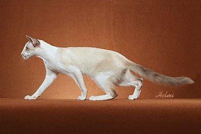 Balinese cat Samson