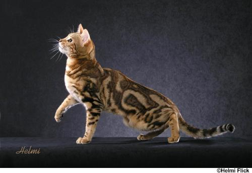 Bengal House Cat