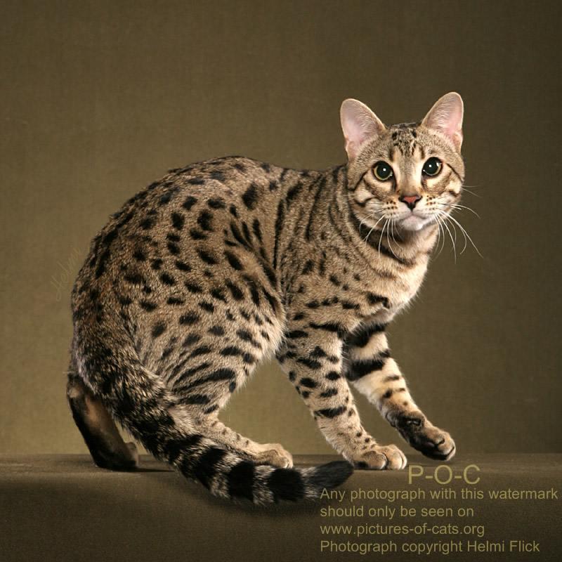 Ravi - a Bengal cat