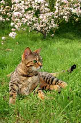 bengal cats cat in grass