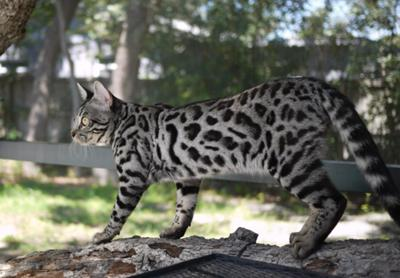 Bengal cat from Bengal Springs Cattery