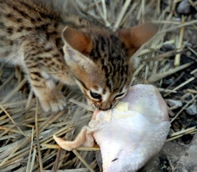 Savannah kitten eating raw chicken leg (human grade) - A1 Savannahs - Photo copyright Michael