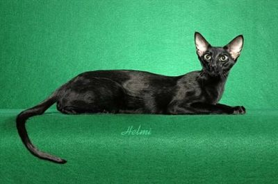 Black cat Oriental Shorthair