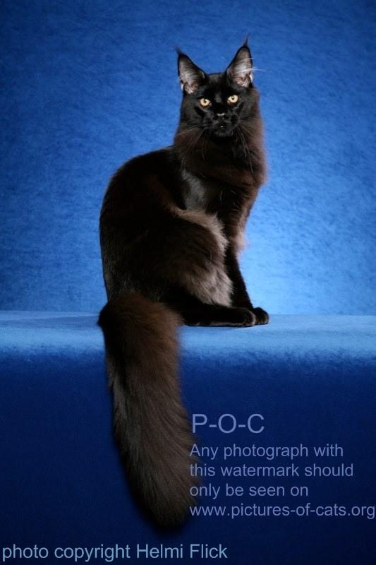 black male kitten for sale
