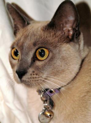Lilac Burmese cat - Photo by deeleea - this photo was uploaded by Michael (Admin) to illustrate the breed only. There is no connection to the article.