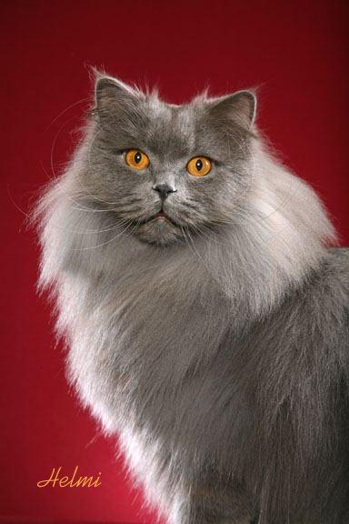British Longhair Cat Poc