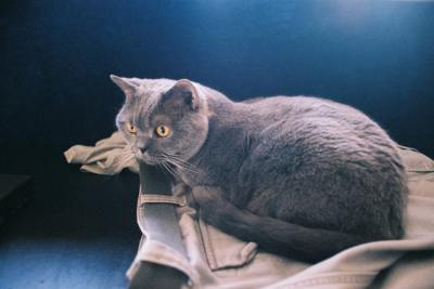British Shorthair cat Sky