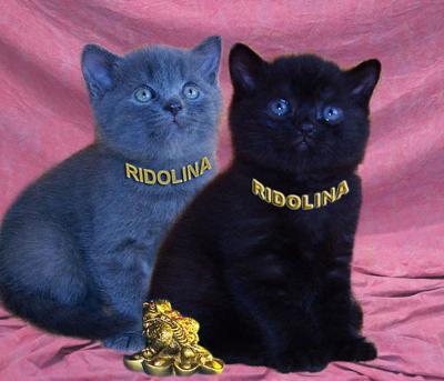 British Shorthair Kittens Breeder | PoC
