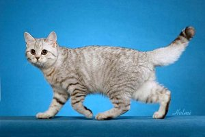 British Shorthair semi-cobby body shape