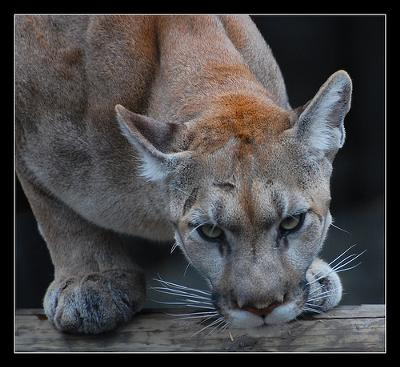 Puma - there are almost no photos of the Florida puma. Photo by rbglasson (Flickr)