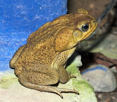 Cane toad - photo by Doug Greenberg (Flickr)