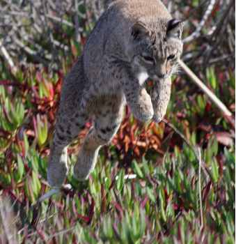 bobcat cat pouncing