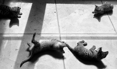 F1 & F2 Savannah kittens - photo by Michael @ PoC