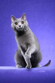 Chartreux cat - photo copyright Helmi Flick - please respect copyright  - added by Michael.
