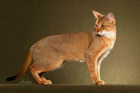 Chausie - a wild cat hybrid